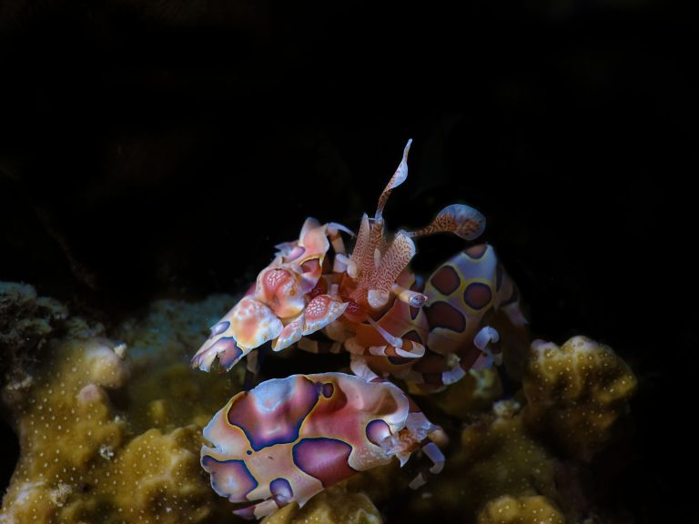 Harlequin shrimp house reef