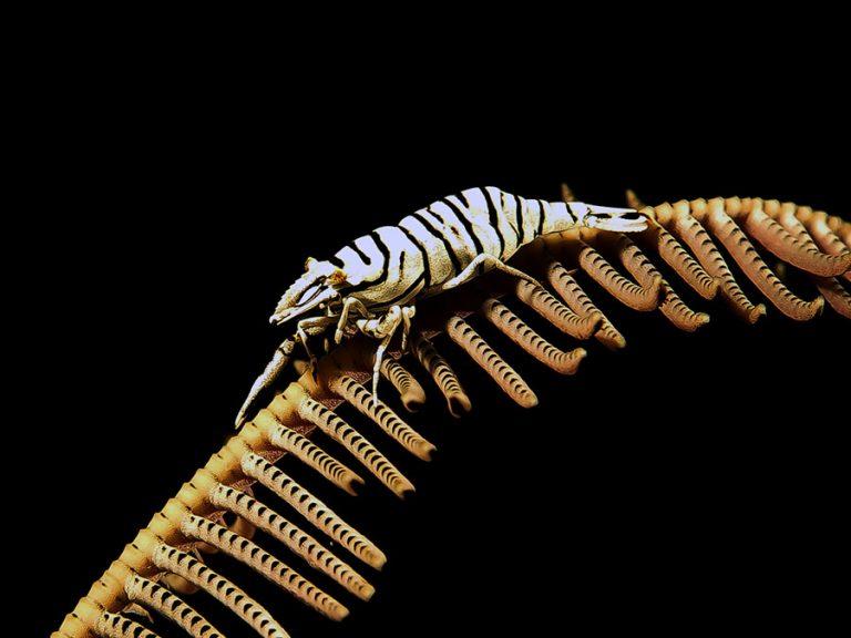Leoparden-Haarsterngarnele