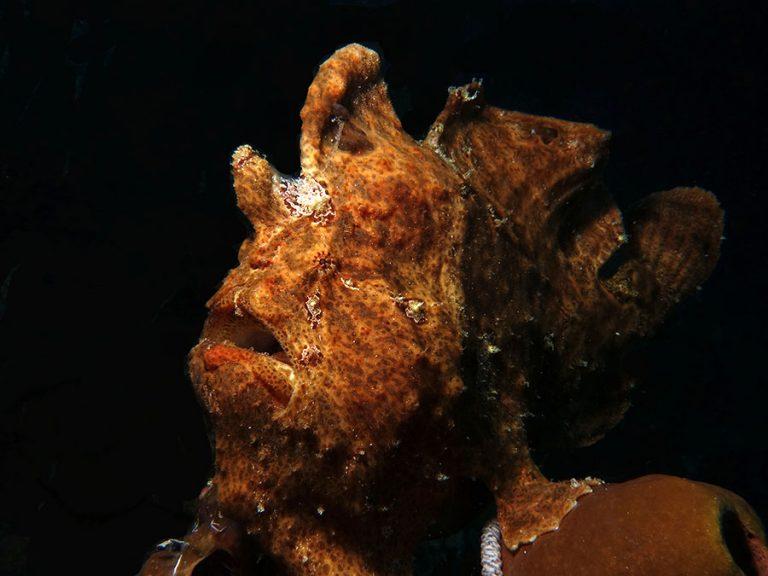 orange frogfish Moalboal