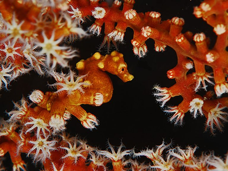 Pygmy Seahorse Moalboal