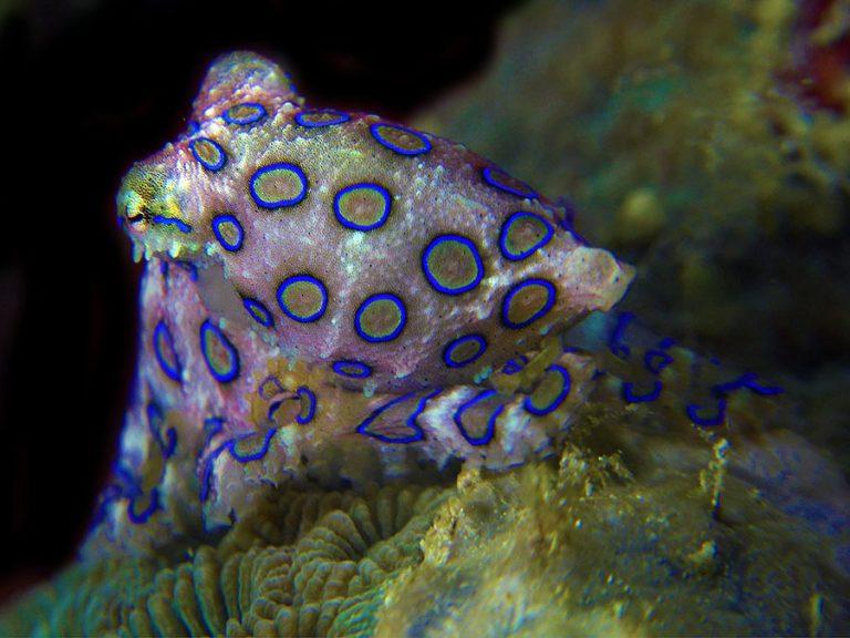bluering octopus night