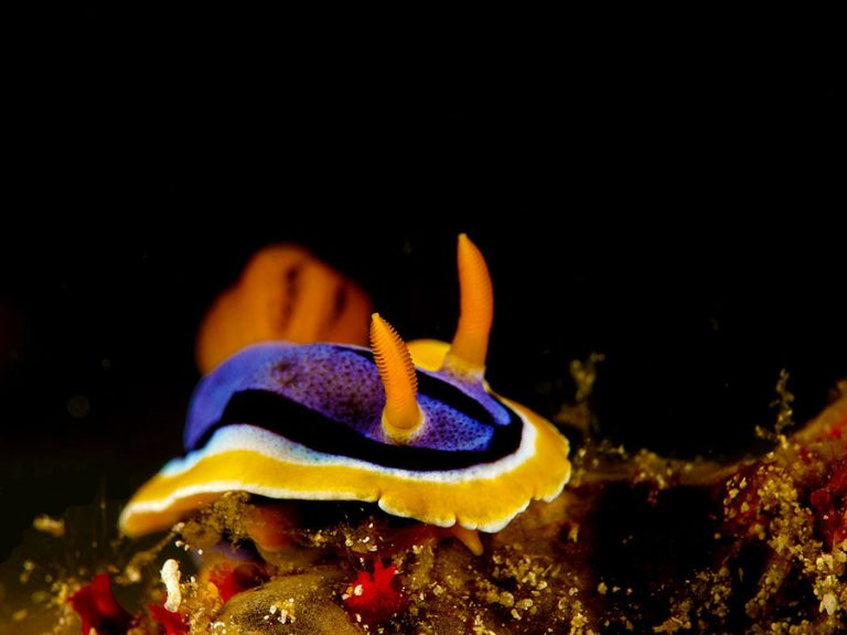 chromodoris nudibranch pyjama