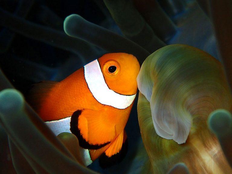 Clownfish Moalboal