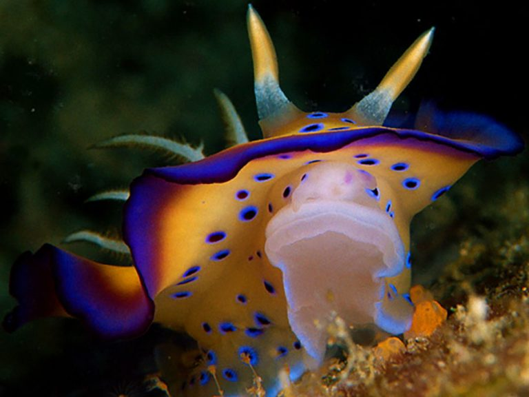 egg Nudibranch Moalboal