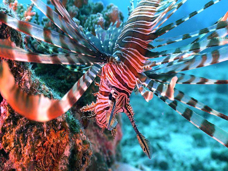 lionfish fins