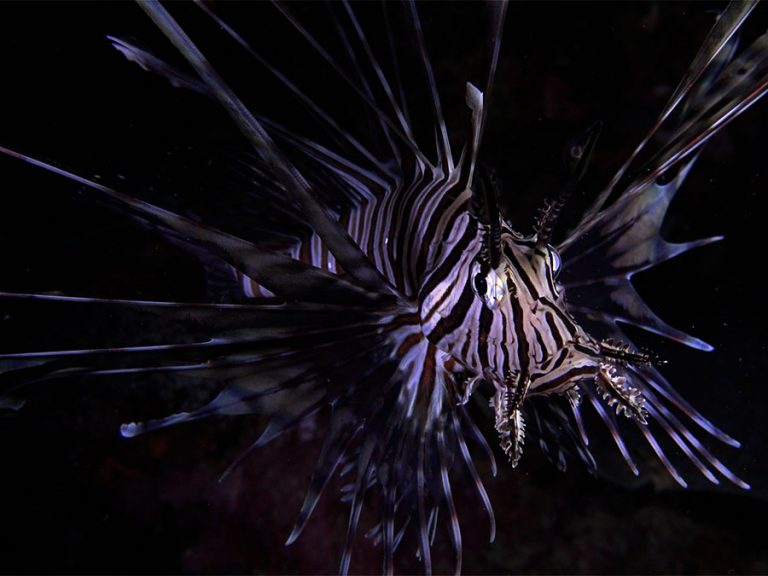 lionfish front view