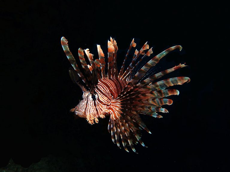 lionfish full body