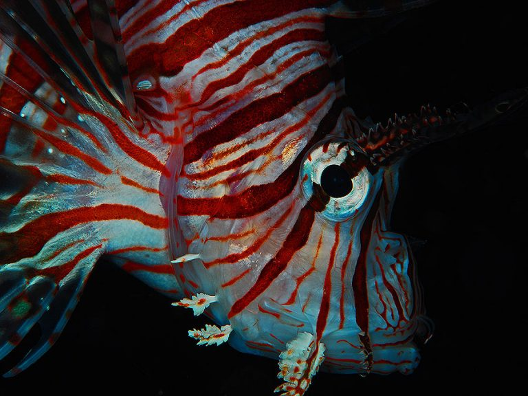 lionfish night