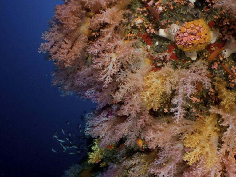 mixed soft corals moalboal