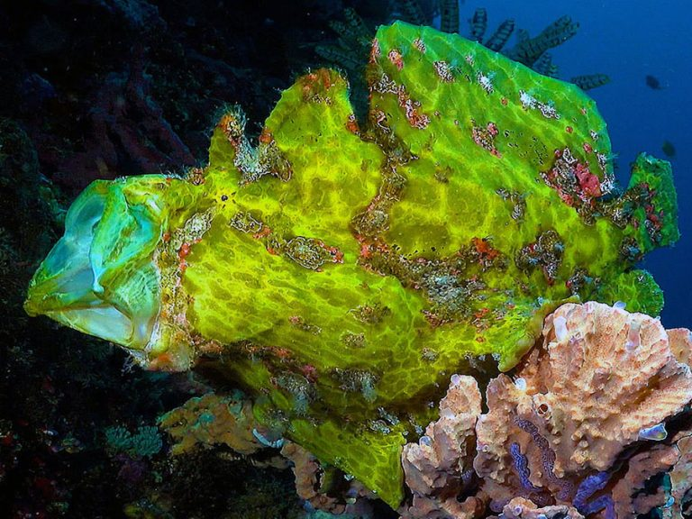 pescador green frogfish stretch mouth