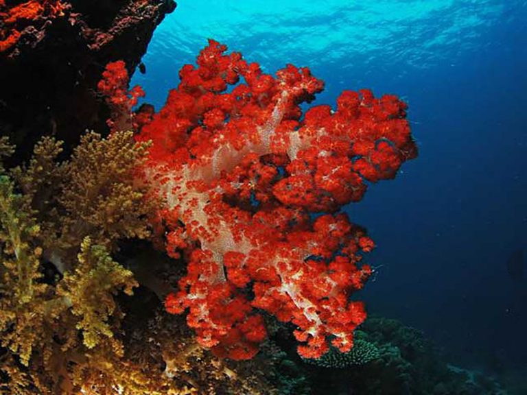 red soft coral reef