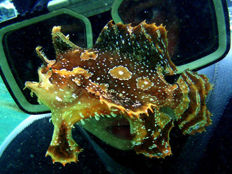 sargassum frogfish and diver