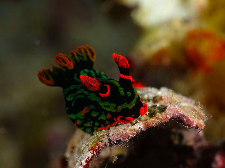 tiger nudibranch