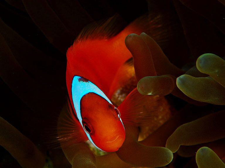 tomato anemonefish moalboal