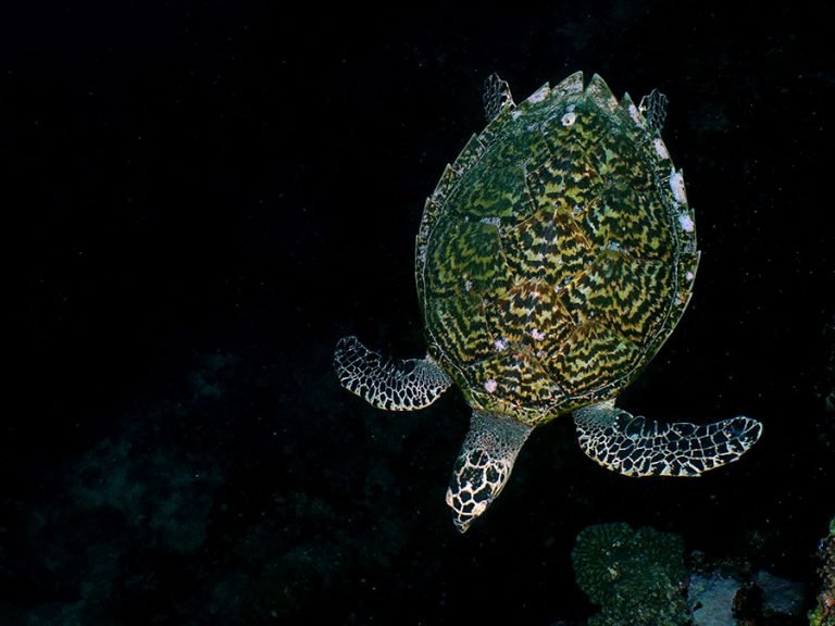 turtle black