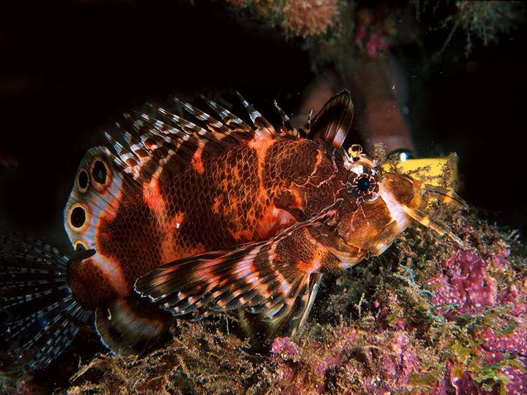 TWIN SPOTTED LIONFISH
