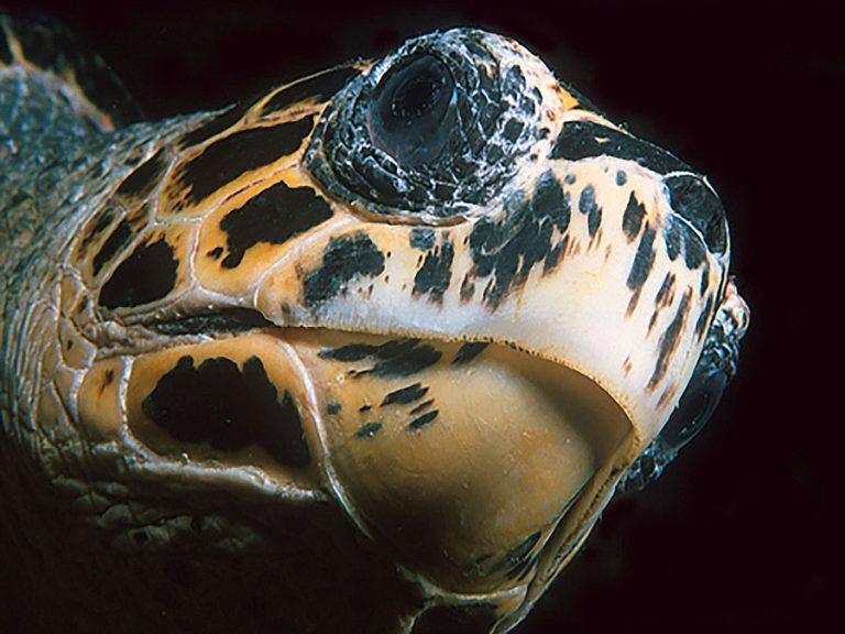 Turtle_head