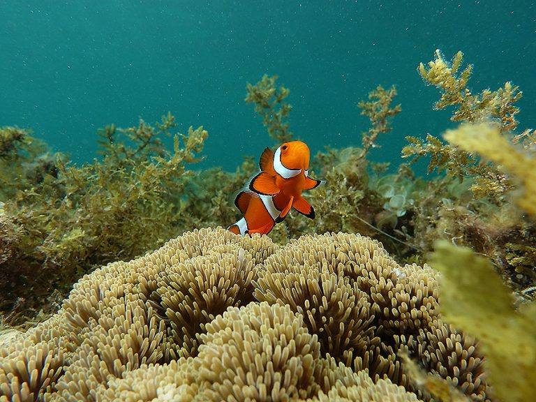 clownfish sea gras