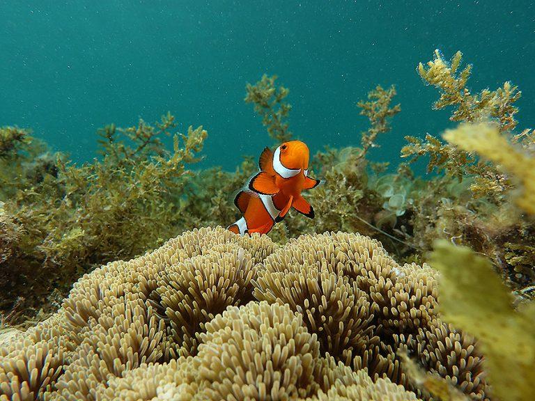 clownfish sea gras