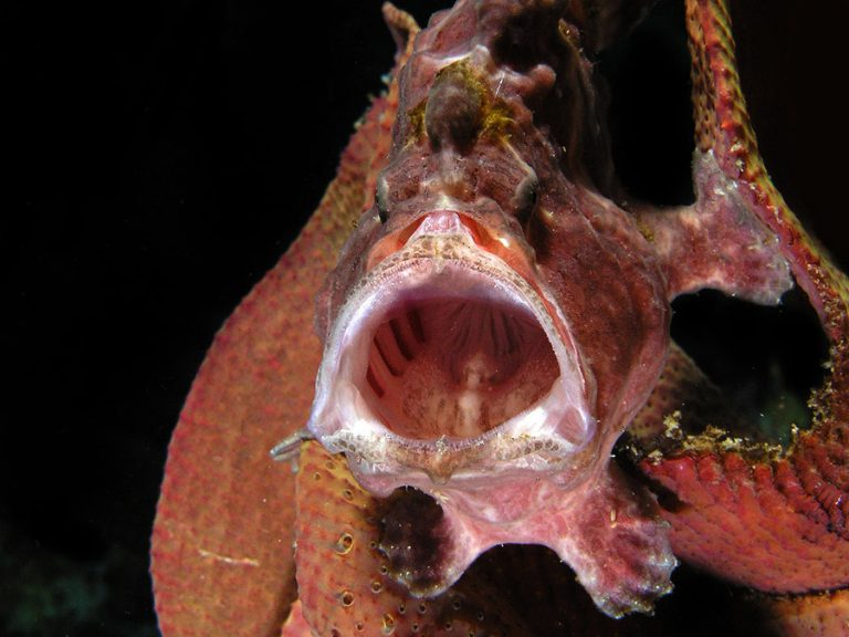 pink frogfish open mouth