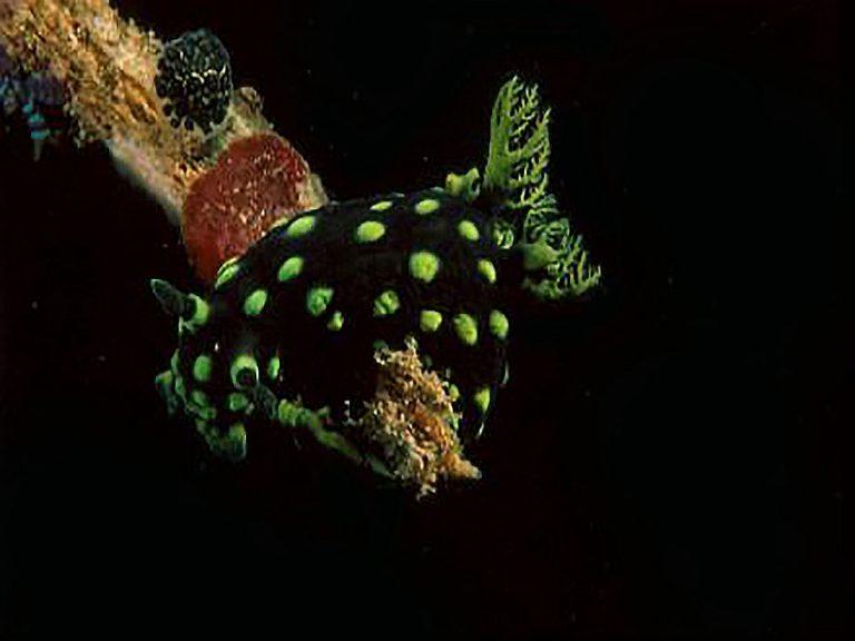 green tiger nudibranch