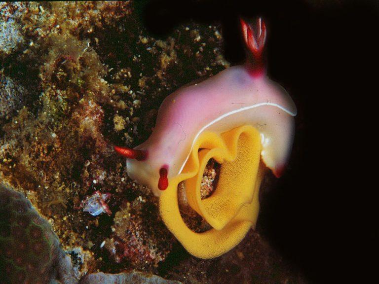 nudibranch bulokii purple