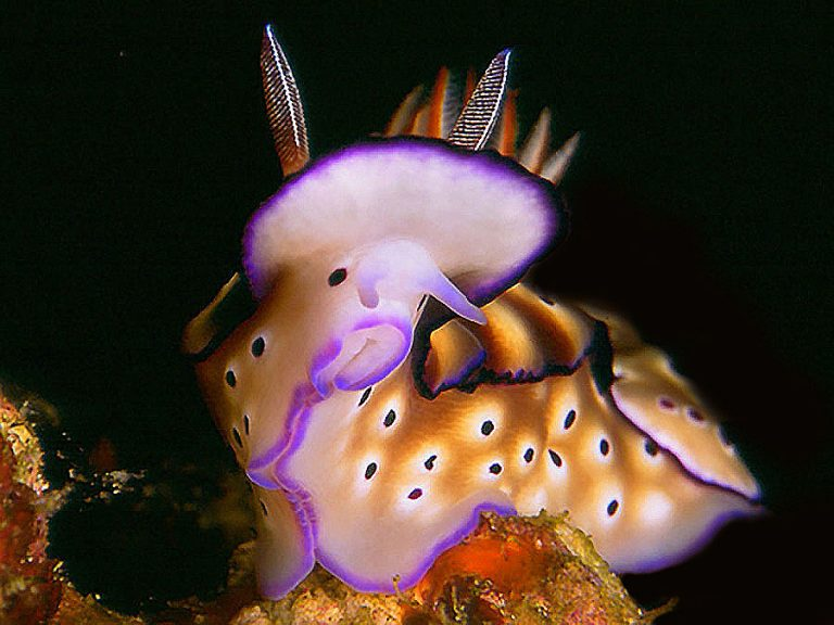 nudibranch risbecia tryoni